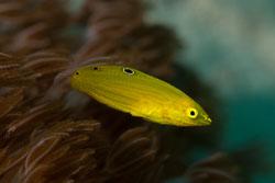 BD-141021-Bali-5771-Halichoeres-chrysus.-Randall.-1981-[Canary-wrasse].jpg